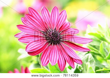 Blue-eyed Daisy,African Daisy,Cape Daisy,Spoon Daisy,red with purple African Daisy flower in full bl