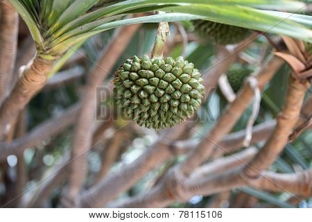 Fruit Of Pandanus Utilis As Known As Screwpine.
