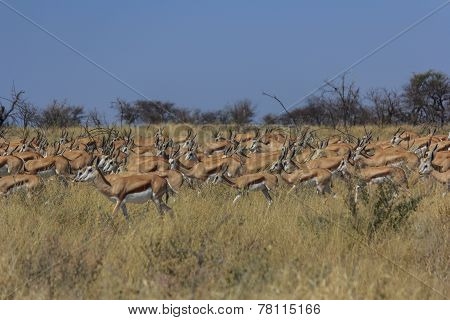 Springbok migrating
