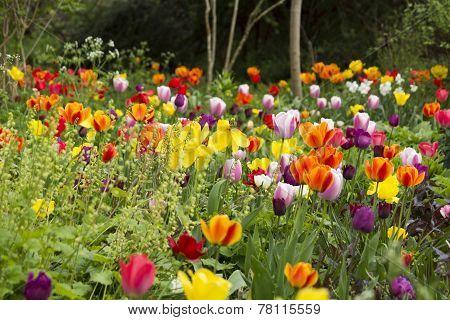 Tulips in a communal garden