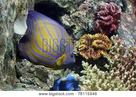Colorful Bluering Angelfish On Corals Reef.