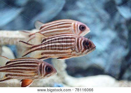 Purple-spotted Bigeye Fish.