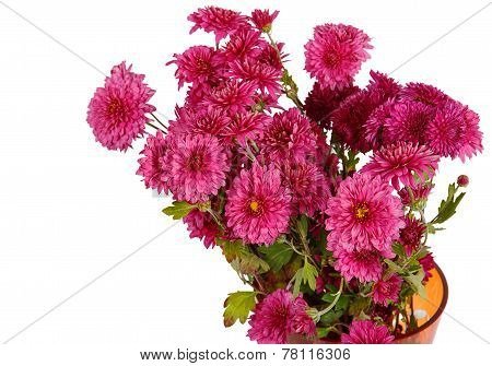 Bouquet Of Burgundy Chrysanthemum Flowers