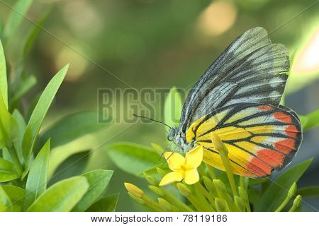 Butterfly sitting over a yellow ixora flowers