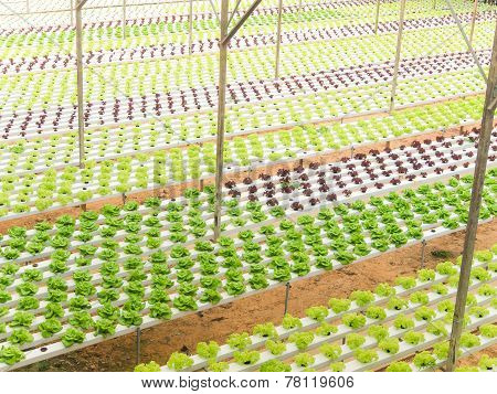 Hydroponic Vegetables