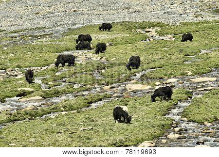 Yaks At Pasture Near River