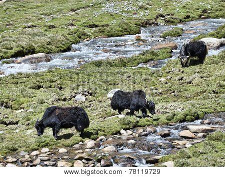 Three Yaks At Pasture Near River