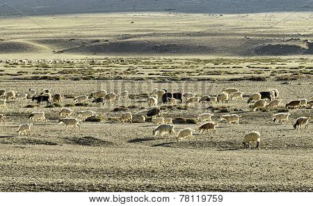 Sheep And Goat Flock