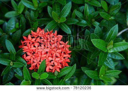 Red Ixora Flowers