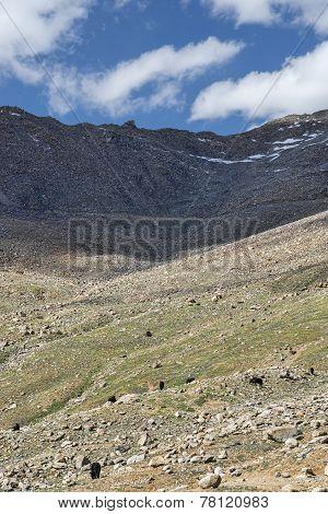 Black Yaks Feeding At Mountain Pasture