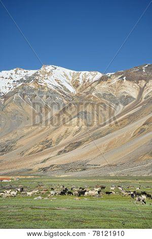 Sheeps Among Mountains