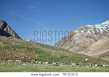Flock Of Sheep in Indian Himalaya