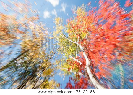 Birch and maple Trees In Fall, Maine.