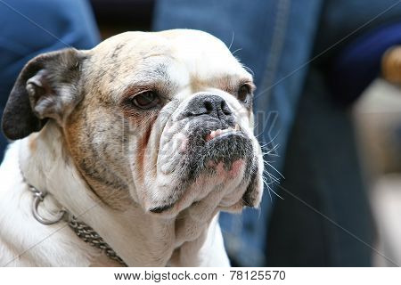 Close Up Of Old Bulldog With Canines