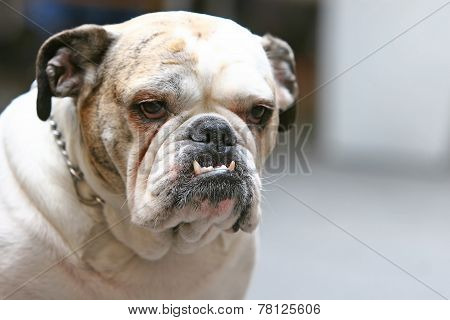 Close Up Of Old Bulldog