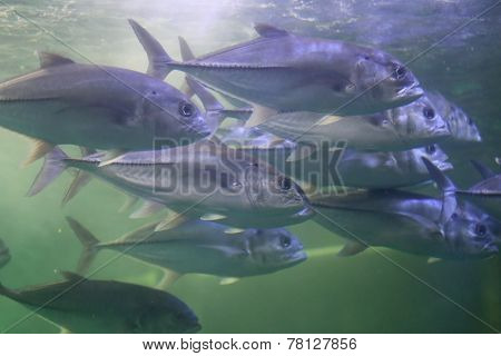 Giant Trevally Fish.
