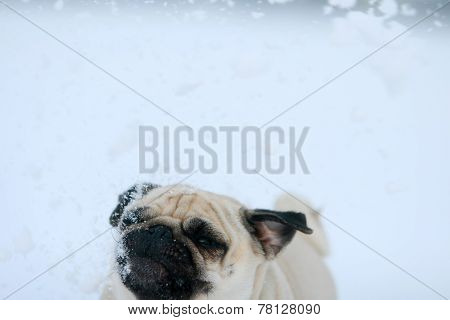 Snowflakes Falling On Pug