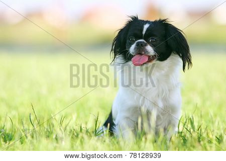 Black And White Pekingese