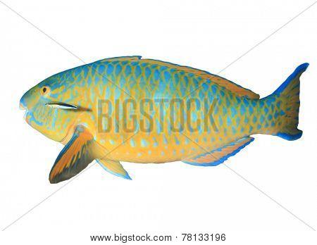 Parrotfish isolated on white background