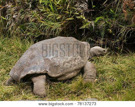Galapagos Tortoise Looking Away
