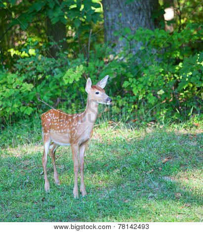Fawn In The Open