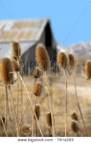 Barn With Thistles