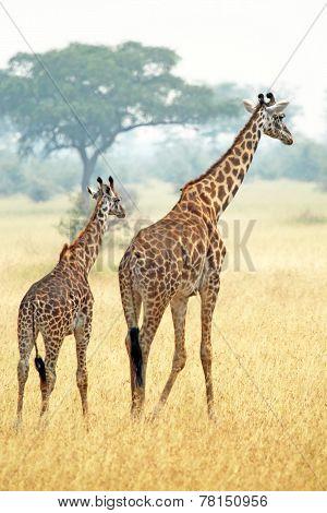 Couple Of Giraffes (giraffa Camelopardalis) Walking In Serengeti Tanzania