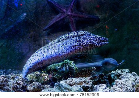 Bright Dangerous Fish Moray Artificial Environment Of The Aquarium With Corals
