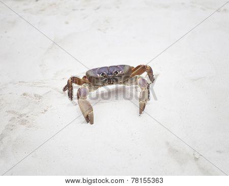 poo kai crab on white sand beach of tachai island similan national park southern of thailand for nat