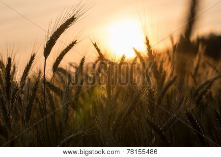 Golden Ears Of Ripening Wheat In A Wheatfield