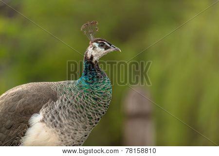 Peacockin the zoo