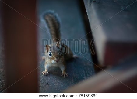 Little chipmunk critter