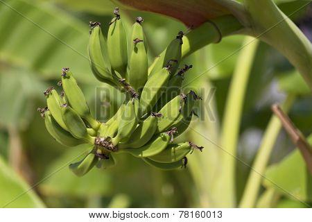 Green banan trees and fruits