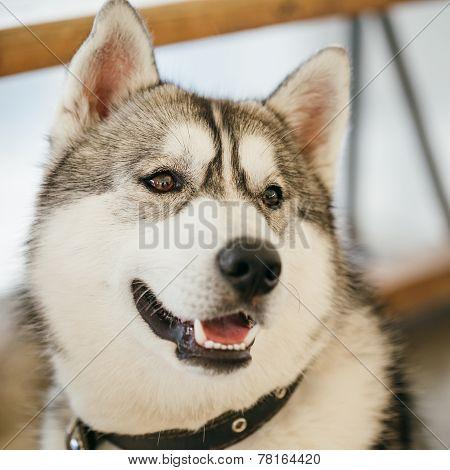 Gray Adult Siberian Husky Dog (sibirsky Husky)