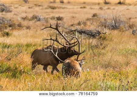 Bull Elk Sparring in the Rut