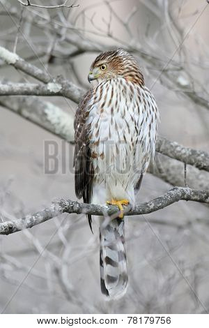 Juvenile Coopers Hawk