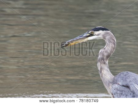 Great Blue Heron in San Francisco, California