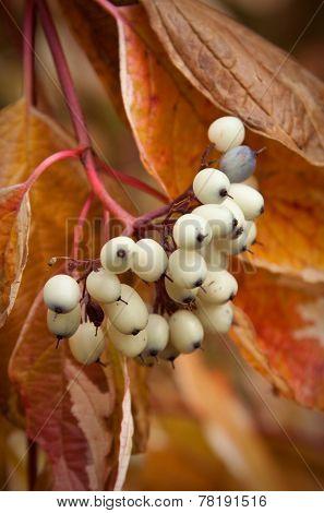 Symphoricarpos albus on a branch