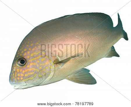 Tropical Fish isolated on white background: Andaman Sweetlips