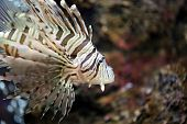 picture of lion-fish  - Focus the Lionfish and dangerous fish in the sea - JPG
