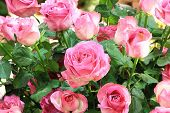 pic of pink rose  - Pink roses - JPG