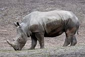 picture of afrikaner  - White Rhinoceros walking in its habitat covered in mud - JPG