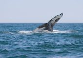 foto of whale-tail  - A Humpback Whale dives in the Bay of Fundy off New Brunswick - JPG