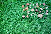 picture of edible mushroom  - A birds eye view of a large group of picked edible and inedible wild forest mushrooms arranged on green grass - JPG