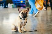 picture of lost love  - Lost Sad Dog French Bulldog sitting on gray floor - JPG
