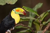pic of toucan  - A close up of a Keel - JPG