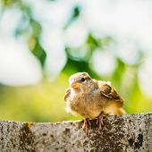 picture of bird fence  - Young Bird Nestling House Sparrow Chick Baby Yellow - JPG