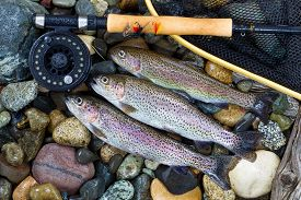 picture of fly rod  - Overhead view of three wild trout with fishing fly reel landing net and assorted flies on wet river bed stones - JPG