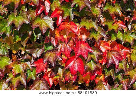 Wild Wine Leaves
