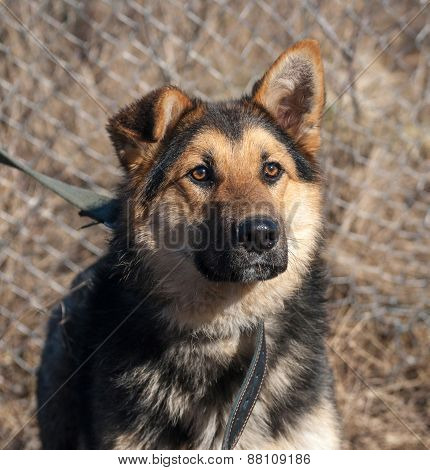 Black And Red Shaggy Dog On Background Of Fence